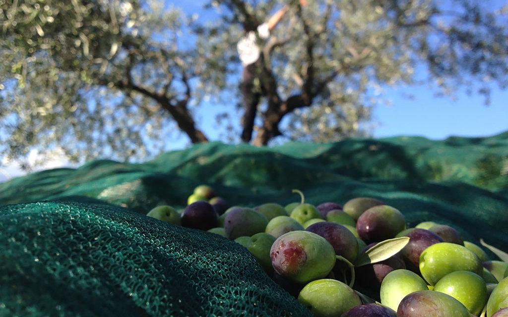 E' tempo della raccolta delle olive